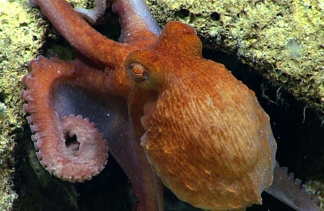 Closeup of a Pacific Octopus in the wild Photo by: NOAA Ocean Exploration & Research //creativecommons.org/licenses/by/2.0/