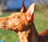 Pharaoh Hound In Profile Photo By: Brent Smith //creativecommons.org/licenses/by-Nc/2.0/