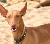 Pharaoh Hound At The Beach - Notice His Large, Pointy Earsphoto By: Clogwog//creativecommons.org/licenses/by-Nc/2.0/