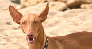 Pharaoh Hound at the beach - notice his large, pointy earsPhoto by: clogwoghttps://creativecommons.org/licenses/by-nc/2.0/