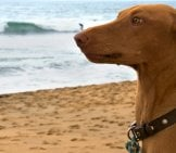 Surprised Pharaoh Hound At The Beach Photo By: Clogwog //creativecommons.org/licenses/by-Nc/2.0/