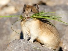 American Pika with Take-OutPhoto by: (c) visceralimage www.fotosearch.com