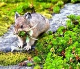 Pika Photographed In Banff National Park, Alberta, Canada Photo By: (C) Aquamarine4 Www.fotosearch.com