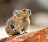Pika On A Rock, Photographed In Jasper National Park, Alberta, Canada Photo By: (C) Gonepaddling Www.fotosearch.com