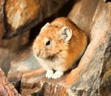 Altai Pika Sitting On A Rock Photo By: (C) Iserg Www.fotosearch.com