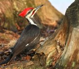 Lovely Pileated Woodpecker At The Base Of A Treephoto By: Tim Lenz//creativecommons.org/licenses/by/2.0/