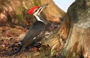 lovely Pileated Woodpecker at the base of a treePhoto by: Tim Lenzhttps://creativecommons.org/licenses/by/2.0/