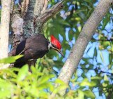 The Pileated Woodpecker Certainly Can't Hide In A Tree Photo By: Cuatrok77 //creativecommons.org/licenses/by/2.0/