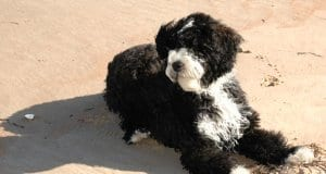 4 month old Portuguese Water Dog puppy at the beachPhoto by: Raymond Browhttps://creativecommons.org/licenses/by/2.0/
