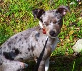Rat Terrier Puppy In The Morning Sun Photo By: Gene Https://creativecommons.org/licenses/by/2.0/