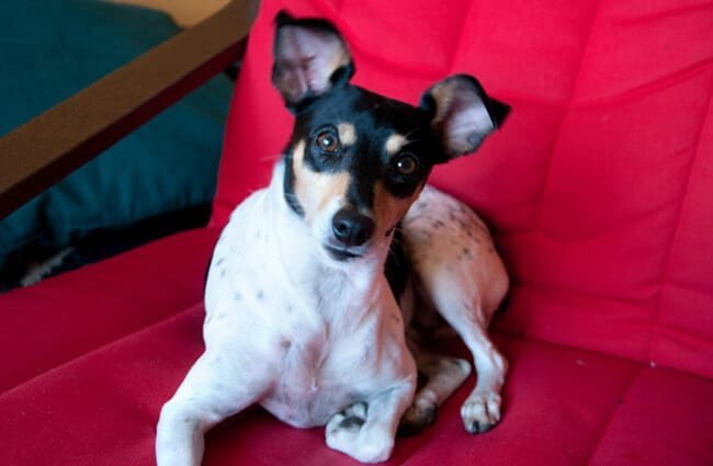 Rat Terrier ready to snuggle Photo by: John Liu https://creativecommons.org/licenses/by/2.0/