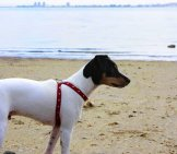 Rat Terrier At The Beach Photo By: Pedro Lozano //creativecommons.org/licenses/by/2.0/