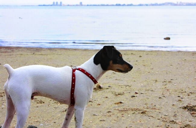 Rat Terrier at the beach Photo by: Pedro Lozano https://creativecommons.org/licenses/by/2.0/