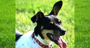 Rat Terrier taking a breather at the parkPhoto by: Sally Wehnerhttps://creativecommons.org/licenses/by/2.0/