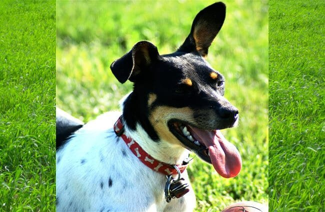Rat Terrier taking a breather at the parkPhoto by: Sally Wehner//creativecommons.org/licenses/by/2.0/