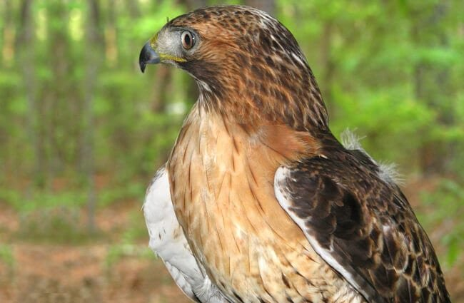 Lovely Red Tailed Hawk in profile