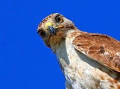 Red Tailed Hawk taking a selfie
