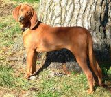 Beautiful Redbone Coonhound Posing For A Picphoto By: Amy Lawson//creativecommons.org/licenses/by-Sa/3.0/deed.en