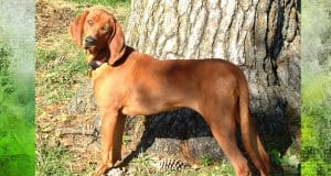 Beautiful Redbone Coonhound posing for a picPhoto by: Amy Lawsonhttps://creativecommons.org/licenses/by-sa/3.0/deed.en