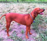 Portrait Of A Redbone Coonhound
