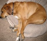 Redbone Coonhound - Naptime! Photo By: Dan Harrelson //creativecommons.org/licenses/by/2.0/