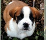 Saint Bernard Puppy Photo By: Jennifer Schleich //creativecommons.org/licenses/by-Nc/2.0/
