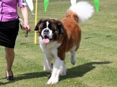 Saint Bernard in the show ringPhoto by: Marcia O'Connorhttps://creativecommons.org/licenses/by-nc/2.0/
