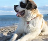 Saint Bernard At The Beach