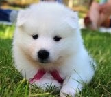Samoyed Puppy Checking Out The Camera