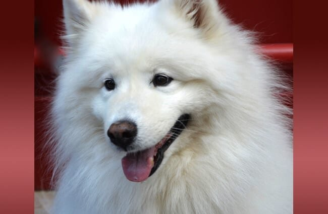 Closeup of a Samoyed