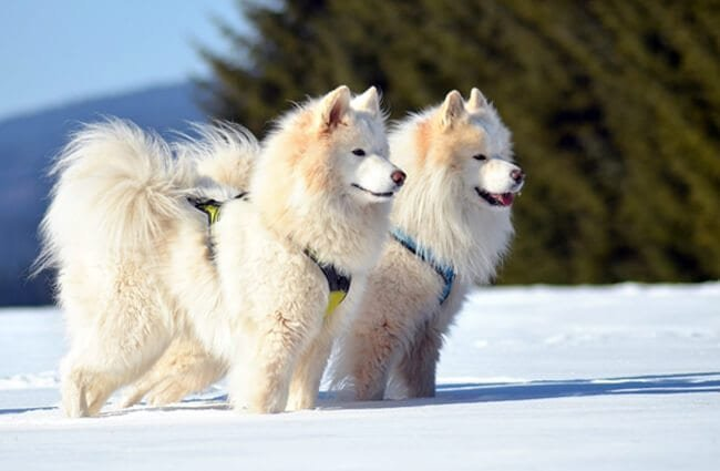 A pair of Samoyed dogs ready for a day in the snow