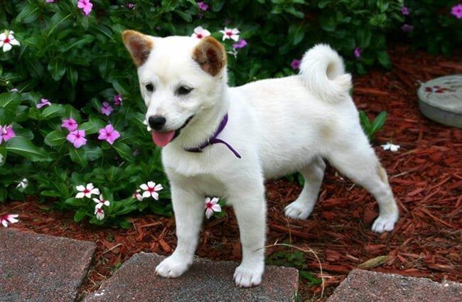 White Shiba Inu puppy