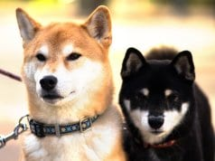 A pair of Shiba Inu dogs
