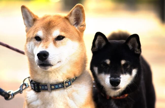 Shiba Inu - Description, Energy Level, Health, Image, and Interesting Facts