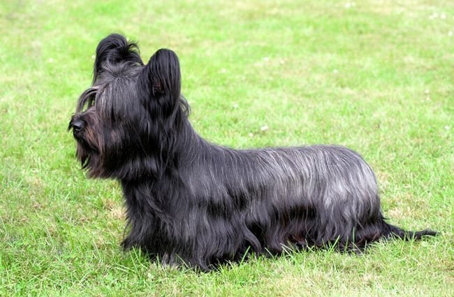 Portrait of a beautiful Skye Terrier Photo by: (c) CaptureLight www.fotosearch.com
