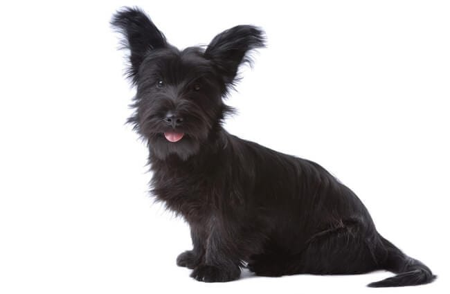 Skye Terrier puppy Photo by: (c) toloubaev www.fotosearch.com