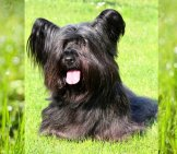 Skye Terrier Posing In The Park Photo By: (C) Capturelight Www.fotosearch.com