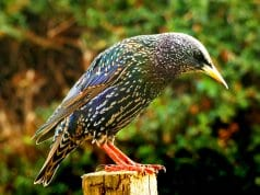 "Common Starling (also called ""European"" Starling)Photo by: Skeeze, Pixabay"