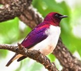 Violet-Backed, Or Amethyst Starling Photo By: Brian Ralphs //creativecommons.org/licenses/by/2.0/