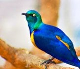 Golden-Breasted Starling Photo By: Gail Nelson, Pixabay