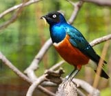 Superb Starling With His Prize Grub Photo By: Steve Bidmead, Pixabay
