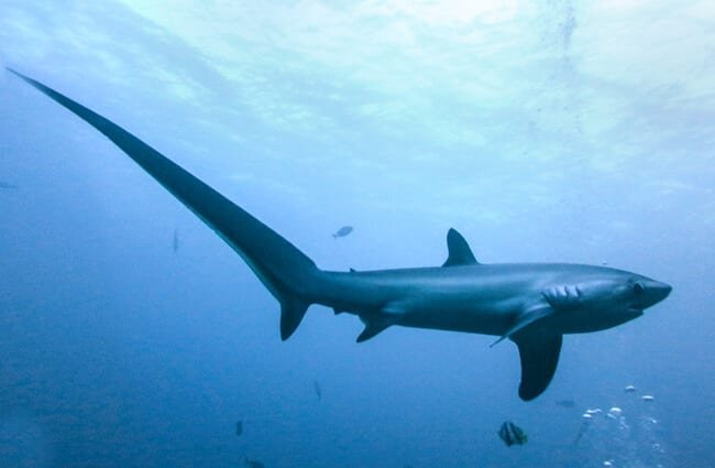 The Thresher Shark's tail is used as a weapon in hunting. Photo by: Rafn Ingi Finnsson //creativecommons.org/licenses/by-nc-sa/2.0/