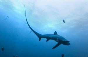 Thresher Shark in relatively shallow watersPhoto by: Rafn Ingi Finnsson//creativecommons.org/licenses/by-nc-sa/2.0/