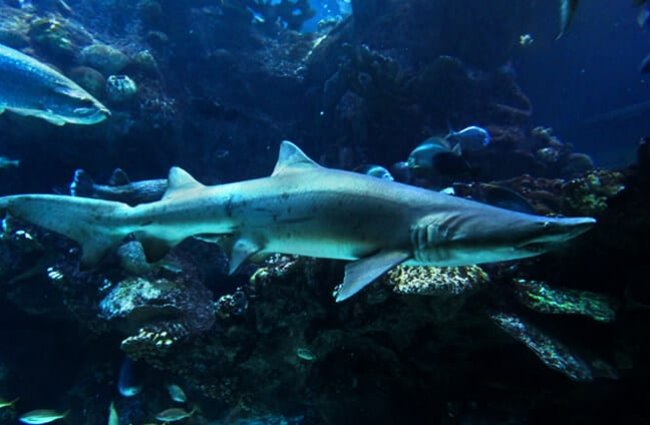 Sand Tiger Shark Photo by: Tim Sackton https://creativecommons.org/licenses/by/2.0/