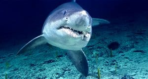 Smalltooth Sand Tiger Shark in the wildPhoto by: NOAA Office of Ocean Exploration and Researchhttps://creativecommons.org/licenses/by/2.0/