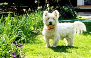 Beautiful West Highland White Terrier