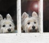 Twin Westies! West Highland White Terrier Photo By: James_Seattle Https://creativecommons.org/licenses/by/2.0/