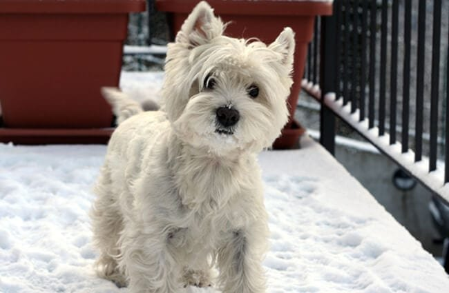 West Highland White Terrier in the snow Photo by: « R☼Wεnα » https://creativecommons.org/licenses/by/2.0/