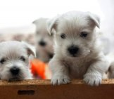 West Highland White Terrier Puppies Photo By: Ssopach Https://creativecommons.org/licenses/by/2.0/