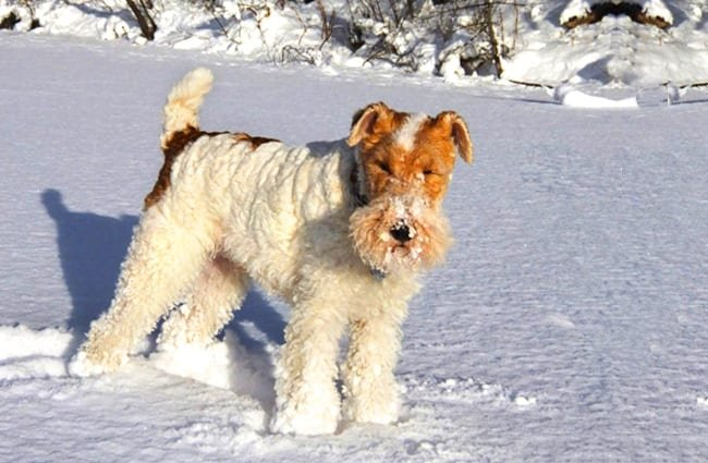 Wire Fox Terrier ready for play in the snow Photo by: AHLN https://creativecommons.org/licenses/by/2.0/